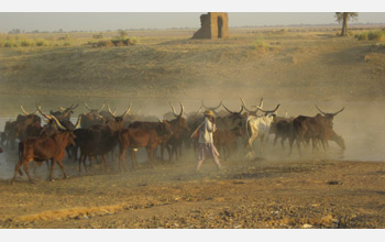 Photo of cattle and a herder in Chad, Central Africa.