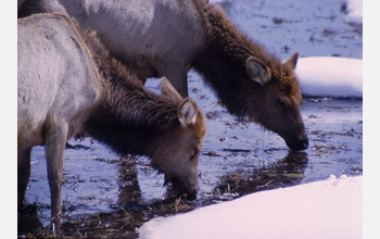 Photo of elk drinking water in Yellowstone.