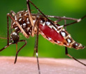 Photo of a mosquito acquiring a blood meal.