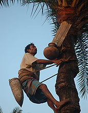 Date-palm gatchers in Bangladesh, who tap trees for sap, may link Nipah virus, bats and humans.
