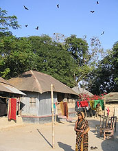 Roosting bats in a village in Bangladesh are connected to an outbreak of Nipah virus there.