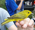 EID scientists are studying West Nile virus transmission in songbirds.