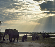 Elephants share the Chobe River floodplain with the human residents of the area.