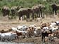 elephants and cattle in Africa