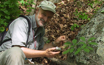 Scientist James McGraw next to American ginseng in the wild