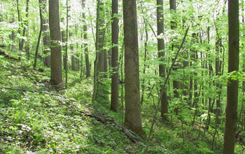 A forest of the northeastern U.S. with american ginseng plants