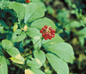 Close-up photo of American ginseng plant with red berries