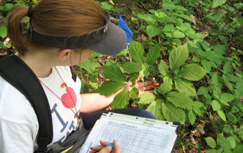 Researcher Kerry Wixted next to invasive plants in an American ginseng habitat