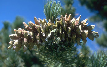 Photo of pine cones.