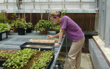 Photo of a researcher tending tree seedlings used in the experimental forest studies.