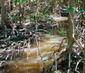 Photo of a tidal creek lined with the roots of red mangroves.