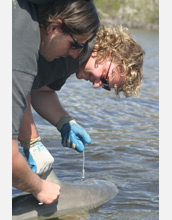 Photo of researchers Bryan Delius and Derek Burkholder taking a small sample from a bull shark.