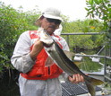 Photo of biologist Bill Loftus holding a snook, a highly-prized game fish of the mangrove forest.