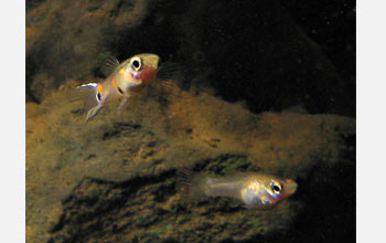 Photo of a male and female guppy in a stream in Trinidad.