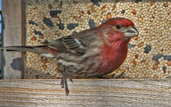 A male house finch near a bird feeder