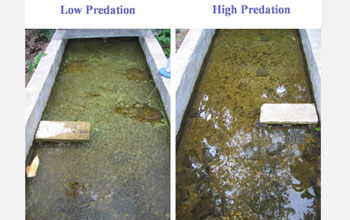 Photos showing the differences in the impact of high- vs. low-predation guppies.