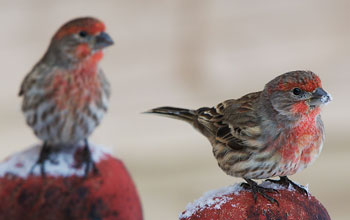 Two male house finches on snow-dusted perches in Montana; these birds are healthy.