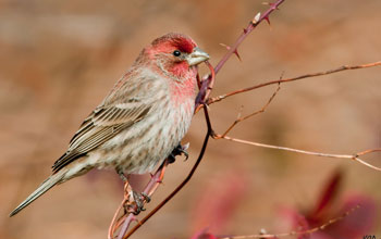 A male house finch perches on a bramble.