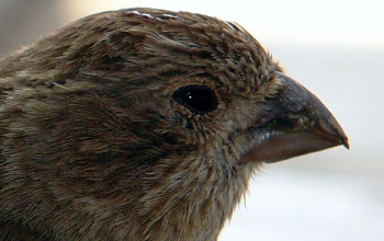 Close-up photo of a house finch showing the beak, which is evolved for eating seeds.