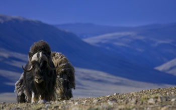 Image of ice-age musk oxen.