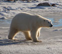 Photo of a female polar bear walking along the shore of Canada's Hudson Bay.
