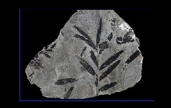 Photo of ancient fossil leaves.