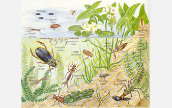 Illustration showing life in a pond.