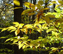 Image of the leaves and branches of an American chestnut tree.
