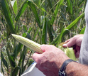 Corn was among the crops affected by the 2012 flash drought.