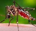 The Aedes aegypti mosquito carried the Zika virus from Africa to the Americas.