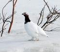 a willow ptarmigan