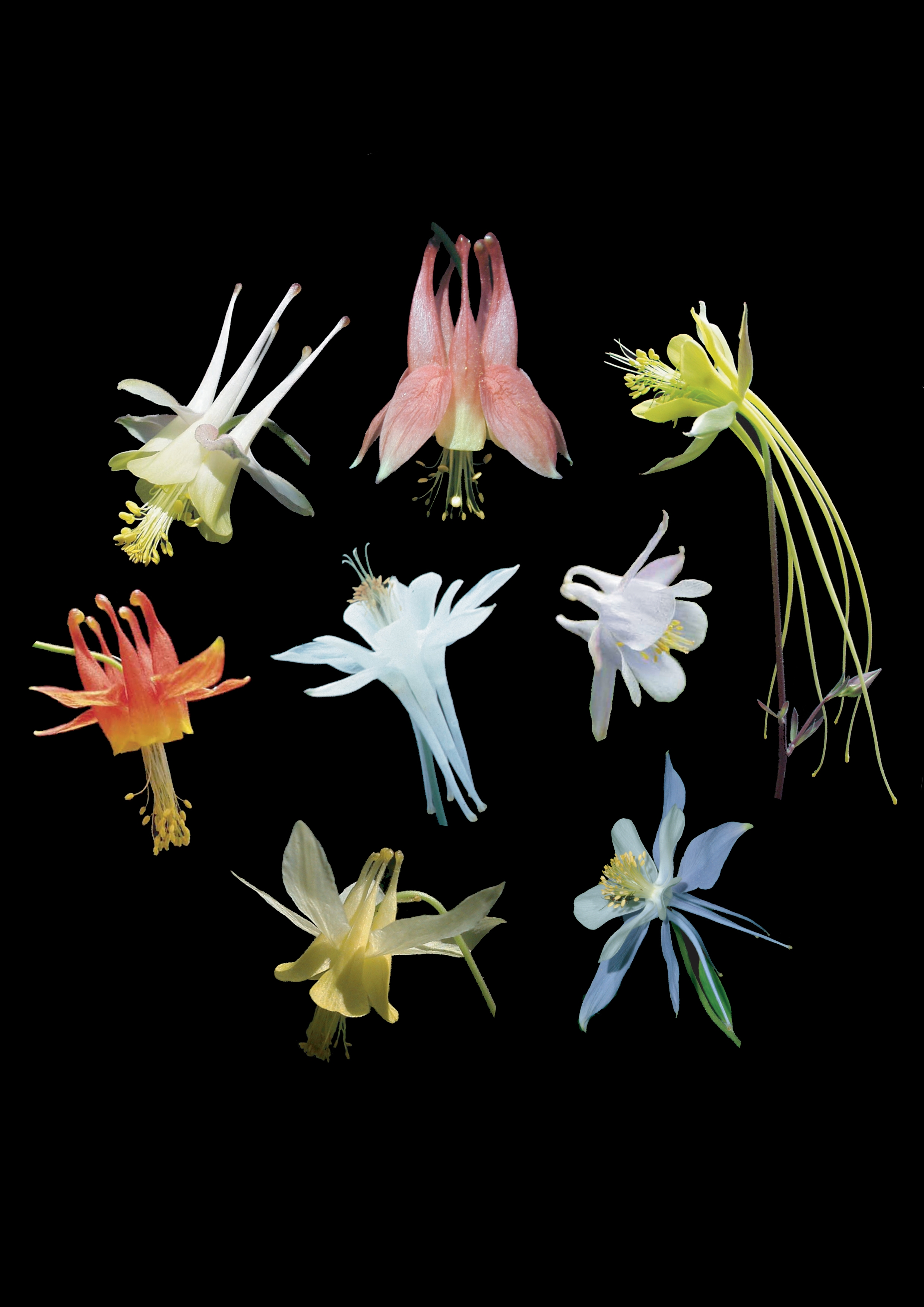 Columbine Flowers Develop Long Nectar Spurs In Response To