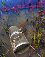 Photo of oil contamination and minnor trap in the marsh at Grand Terre Island, Louisiana.