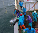 Photo showing Japanese longline fishers catching southern bluefin tuna.