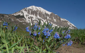 Photo of dwarf bluebells with a snow-capped mountain in the background.