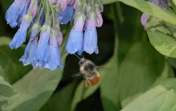 Photo of a bumblebee worker visiting flowers of the tall bluebell.