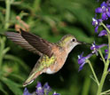 Photo of a female broadtailed hummingbird collecting nectar from the flowers of tall larkspur.