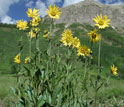 Photo of Aspen sunflowers in a montane meadow with mountains in the background.