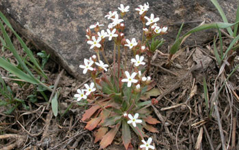 Photo of flowers of rock jasmine.