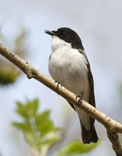 A pied-flycatcher on a branch