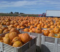 Image of pumpkins in crates with a truck in the background.