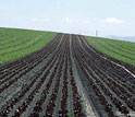 Image of rows of unplanted crops in center and rows of planted crops on right and left.