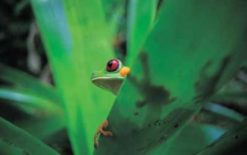 Photo of a red-eyed tree frog.