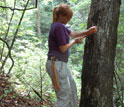 Researchers measure the diameter of trees to track responses to environmental change.