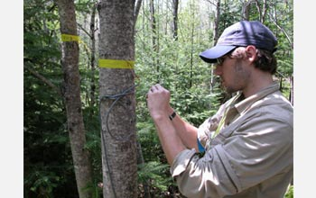Photo of Michael Loranty wiring one of many sap flow sensors in the aspen stand.