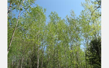 Photo of the forest canopy at the aspen site.