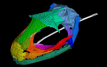 CT image showing an adult albanerpetontid skull