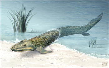 Illustration of Tiktaalik crawling from the sea to land.