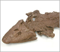 Photo of the head of a fossil specimen of Tiktaalik roseae.
