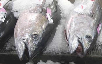 Ahi tuna heads on display at the market